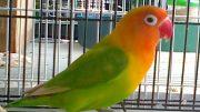 download mp3 lovebird