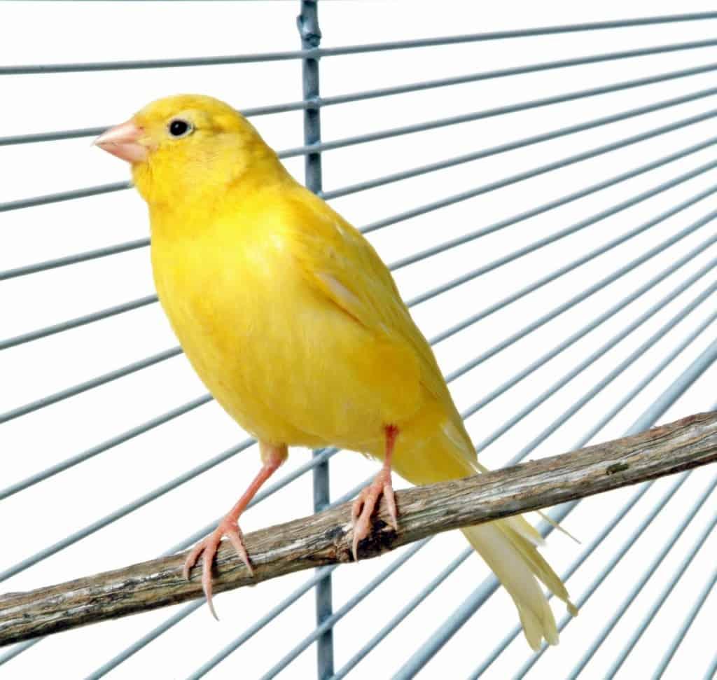 Cara Membuat Burung Kenari Gacor
